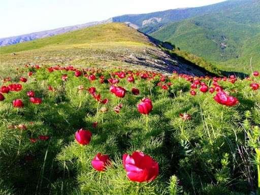 Mountain peonies bloom in Antalya